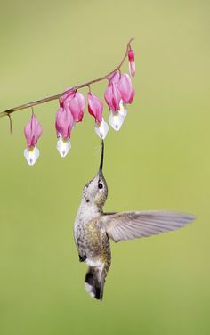 Anna's hummingbird feeding on a bleeding heart flower Pretty Birds, Love Birds, Beautiful Birds, Animals Beautiful, Cute Animals, Funny Animals, Bleeding Heart Flower, Bleeding Hearts, Hummingbird Pictures
