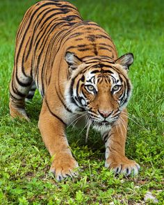 I Love Cats, Big Cats, Cool Cats, Tiger Pictures, Cute Animal Pictures, Wildlife Photography, Animal Photography, Pumas, Beautiful Creatures