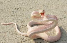 cobra albina - Pesquisa do Google