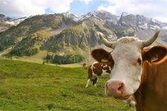 cows & mountains