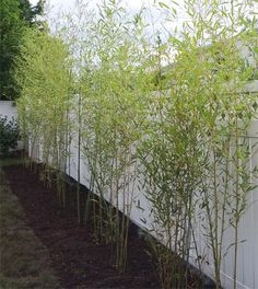 bamboo privacy plant
