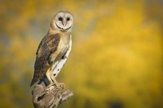 Learning to pose .. young barn owl modelling
