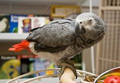 """In your relationship with your African Grey parrot, you should be established as the """"head of the flock"""" and he should already be trained to step up onto your hand when asked to do so. Birds react to facial expressions and praise."""