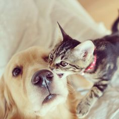 Kitten that was rejected adopted by dog. Read more here: http://freeyork.org/animals/loving-golden-retriever-treats-rejected-kitten-child