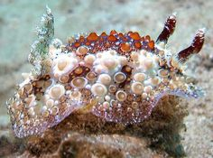 The Sea Slug Forum - Hoplodoris estrelyado