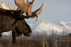 Moose by akphotograph.com on Flickr.