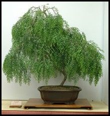 trees care Everything you'll ever need to know about owning and caring for weeping willow b. Everything you'll ever need to know about owning and caring for weeping willow bonsai trees. Bonsai Tree Care, Bonsai Tree Types, Indoor Bonsai Tree, Bonsai Plants, Bonsai Garden, Garden Trees, Acer Palmatum, Redwood Bonsai, Willow Tree Art