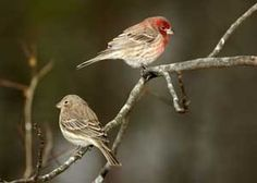 House Finches  from Great Backyard Bird Count by Don Rash
