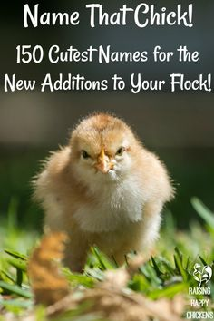 Need to find names for your baby chicks? From cute Silkies to grumpy roos, you'll find a great selection here! Silkie Chickens, Cute Chickens, Baby Chickens, Names For Chickens, Beautiful Chickens, Chicken Toys, Chicken Chick, Chicken Treats, Chicken Life