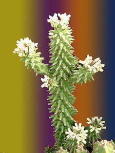 Monadenium Schubei