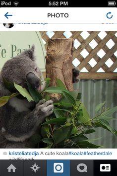 Cute Koala from Aussie