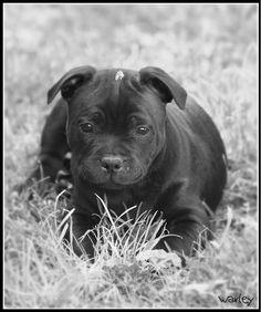 Staffy puppy....can't wait until we get one!!!!!