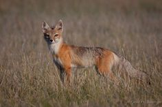 Swift Fox | Flickr - Photo Sharing!