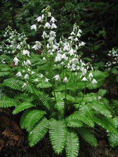 Pteridophyllum racemosum / – Garden Types - How to Make Gardening Woodland Plants, Forest Plants, Woodland Garden, Woodland Flowers, Garden Types, Moon Garden, Dream Garden, Beautiful Gardens, Beautiful Flowers