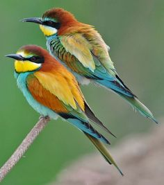 beeeater - Yahoo Image Search results