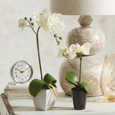 PHALAENOPSIS ORCHIDS Morgan & Finch