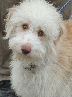 Petfinder  Adoptable | Dog | Golden Retriever | Winchester, KY | Rocky