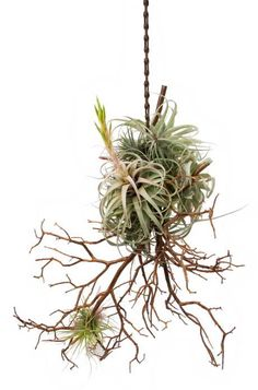 Rolling Greens' Air Plants