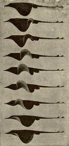 stingray illustration by Jules Marey, 1830-1904