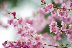 Cherry blossoms via Coffee & Couch