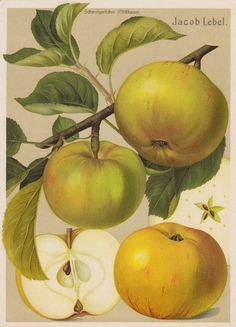 Vintage Printable Apple 'Jacob Lebel'