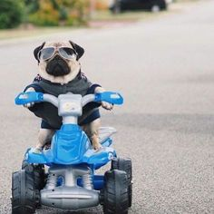 Look out ! Pug's on the bike and he means business !