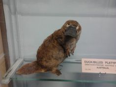Hilarious stuffed platypus in Dublin's natural History Museum