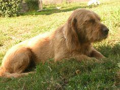 basset fauve de bretagne photo | Razas de perros: Basset Fauve de Bretagne