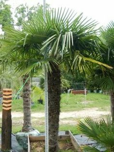 8 degree Cold hardy palm tree tolerate