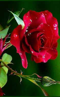 Beautiful Rose Flowers, Love Rose, Flowers Nature, Exotic Flowers, Amazing Flowers, Beautiful Flowers, Beautiful Pictures, Rose Flower Pictures, Flower Images