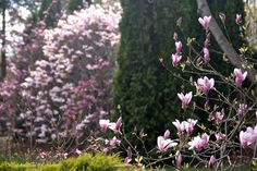 One of two Magnolia x soulangiana 'Alexandrina' on the right side of the photo