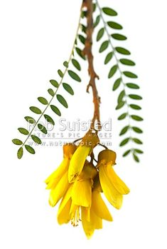 Kowhai Flowers (Sophora tetraptera; Fabaceae). NZ native flowers and leaves. Clear cut white background, New Zealand (NZ).