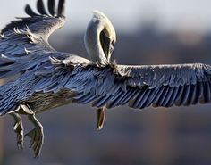 PELICAN 1 by Michelle Cobble on 500px