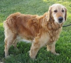 This is Stella and she is 9 yrs old. She gets along with other dogs, cats and kids, is housetrained, up to date on vaccinations and spayed. Stella still has lots of good days ahead of her and is looking for a forever home. She is at Golden Treasures Golden Retriever Rescue in Ohio.