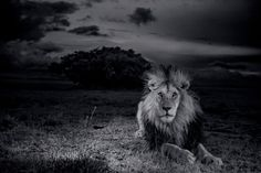 Intimate National Geographic Portraits of the Serengeti Lion - In Focus - The Atlantic