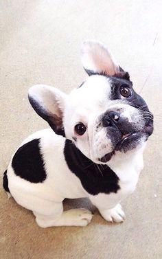 French bulldog - black and white