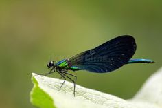 Photo about A dragonfly ready to fly on your lap at any moment. Dark blue - green tinted with rotating color. Green background. Image of ready, blue, navy - 117873830