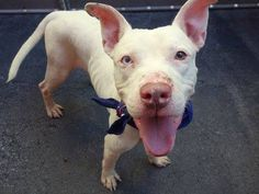 Manhattan Center -P  My name is TYSON. My Animal ID # is A1015254. I am a male white pit bull mix. The shelter thinks I am about 3 YEARS old.  I came in the shelter as a STRAY on 09/25/2014 from NY 10454, owner surrender reason stated was STRAY. I came in with Group/Litter #K14-195657. KILLED.