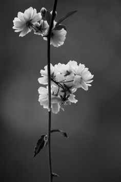 Black and White Photograph floral print botanical by dullbluelight