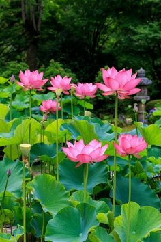I didn't know this is where they grow - in the water garden - Lotus flowers Lotus Flower Quote, Lotus Flower Wallpaper, Flower Quotes, Lotus Flowers, Watercolor Lotus, Lotus Painting, Amazing Flowers, Beautiful Flowers, Lotus Kunst