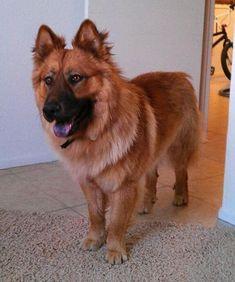 Schäfer-Chow (Deutscher Schäferhund + Chow-Chow) | 19 ungewöhnliche Hunde-Kreuzungen, die Dein Herz im Sturm erobern werden