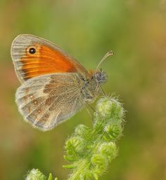 Butterflies of the UK. an insight into their lives: Small Heath