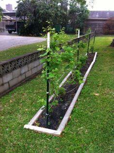 DIY garden with chardonnay grapes. DIY garden with chardonnay grapes. Aquaponics System, Aquaponics Greenhouse, Aquaponics Plants, Growing Raspberries, Growing Grapes, Growing Plants, Growing Grape Vines, Grape Tree, Grape Plant
