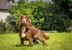 Sunning Spaniel photo taken during the Andy Biggar Photography Course North Wales August 2015 .. practice makes perfect!  Taken with my Olympus OM-D EM-10.