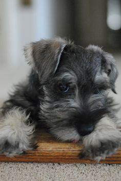 I would love a Schnauzer puppy // es el gemelo de mi Bebe Bruno