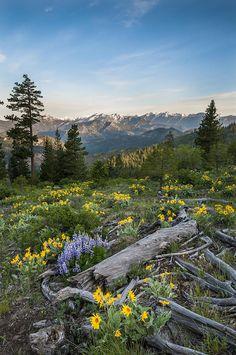 Tronsen Ridge Wildflowers. Blewett Pass. Washington .