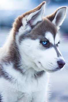siberian husky beauty #dogs / puppies