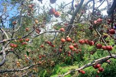 Plug #Apples from the  orchards in #Sangla – Being a #traveller  you should definitely visit the place once in a life for its #beauty, and #serenity. The views you will find get while you're #travelling through #mountains by bike cannot be matched with any other experience. The #besttime to visit is in the month of #September to #October. You can also stay for a night in the adjoining place called #Chitkul,  which is quite awesome.