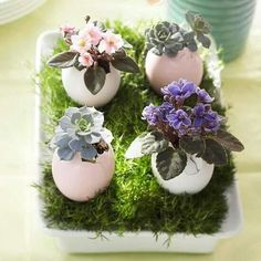 Eggshell with succulents and african violets on moss in egg carton