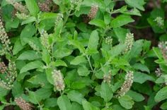 Holy Basil essential oil or Tulsi oil can be used in many skin treatments, it is particularly effective in soothing and softening skin. It may act as a natural repellent. It has been used to help heal skin, relieve pain and calm the itch of an insect bite.* It has anti-inflammatory properties and has been found to help relieve headaches.* *This statement has not been evaluated by the FDA and is not intended to diagnose, treat, or prevent any disease. #aromatherapy